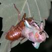 Cicada004