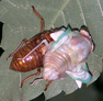 Cicada006